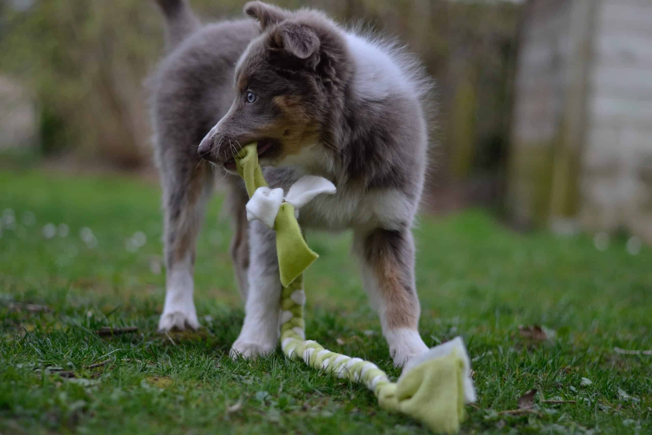 Puppy playing in yard with tug toy.