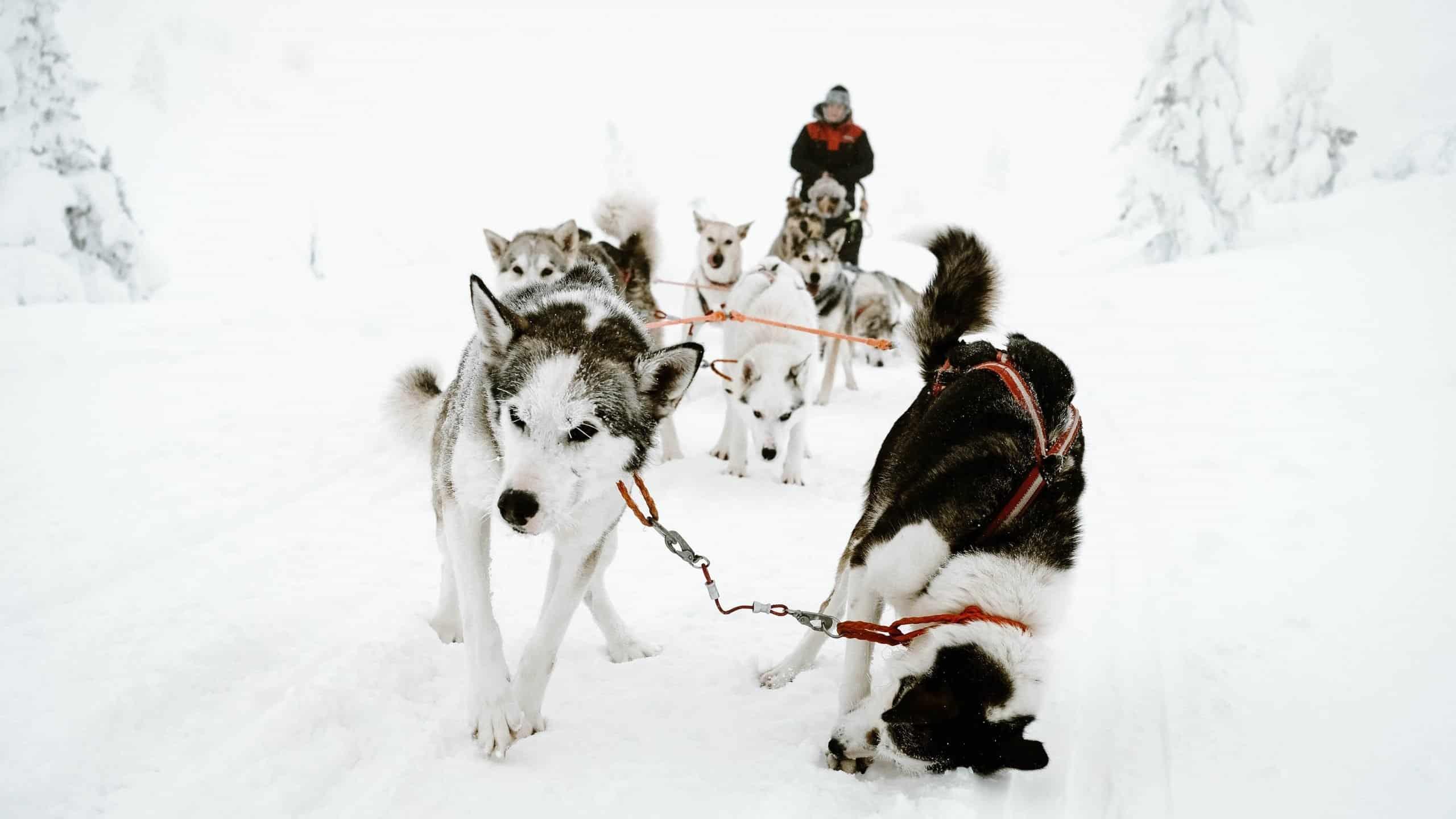 Huskies as sled dogs.