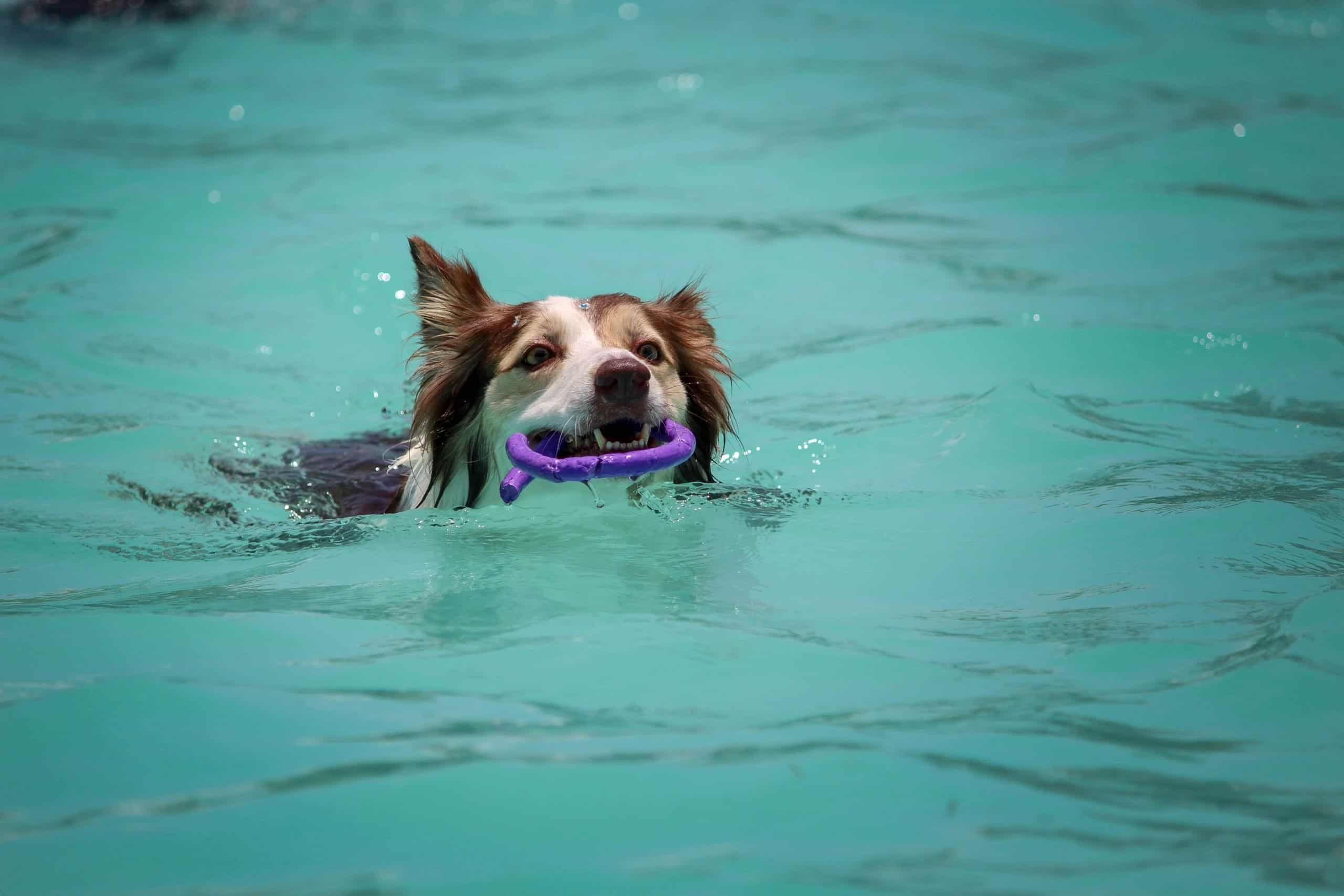 Dog swimming in the pool.