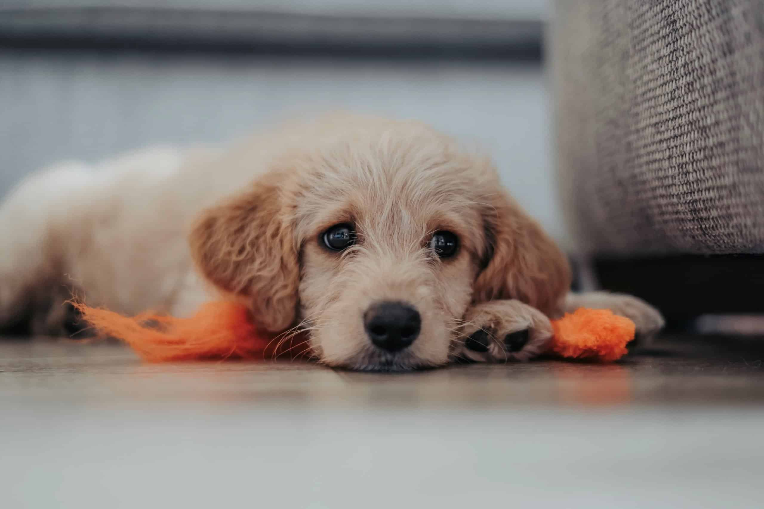 Young, white Labradoodle puppy.