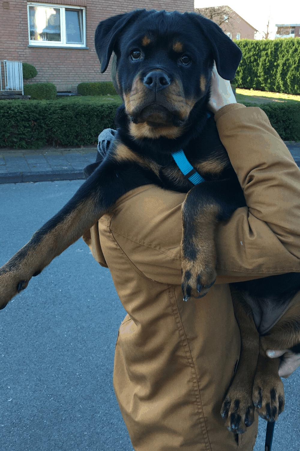 Rottweiler being carried over the shoulder withs support below the back paws.