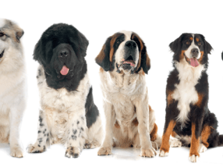 Five large dog breeds that are suitable for living in an apartment