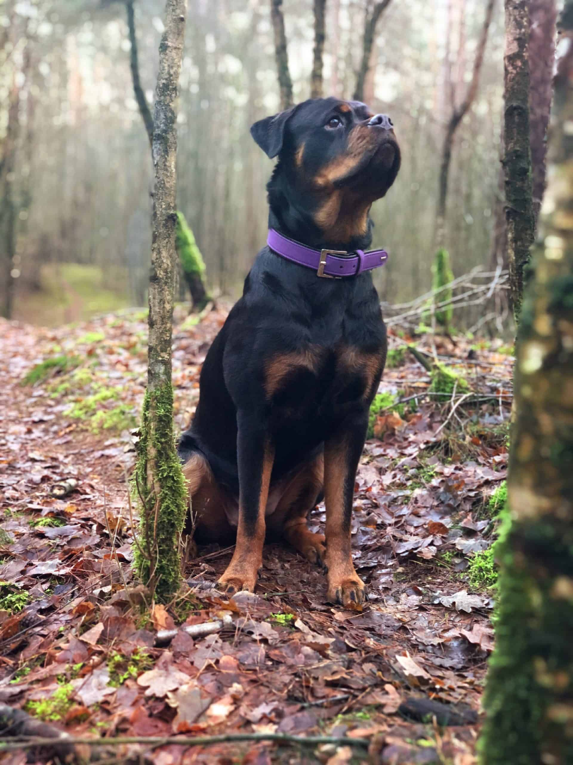 Black and tan Rottweiler in the woods.