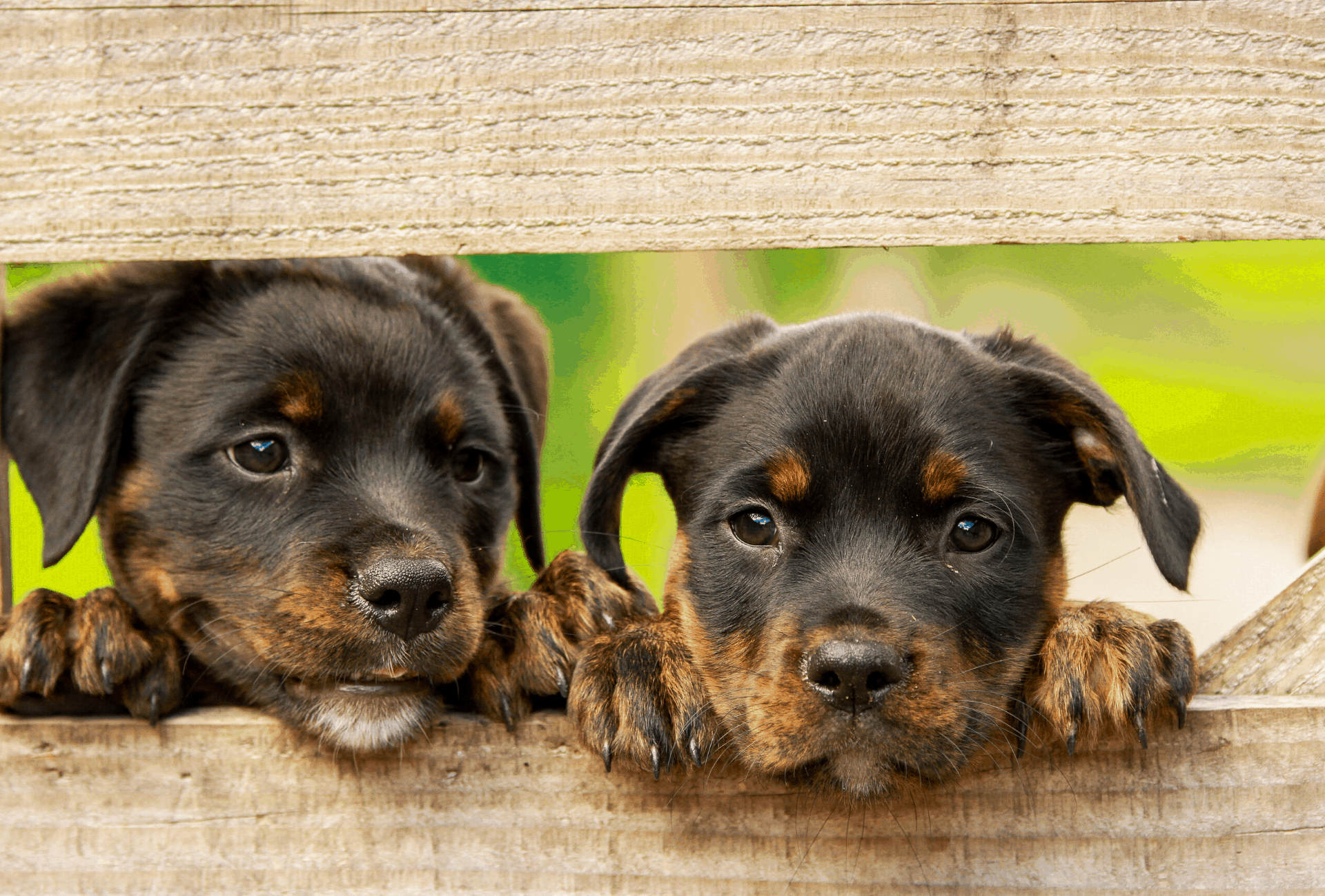 Rottweiler puppies that have black specs on their paws and nose.