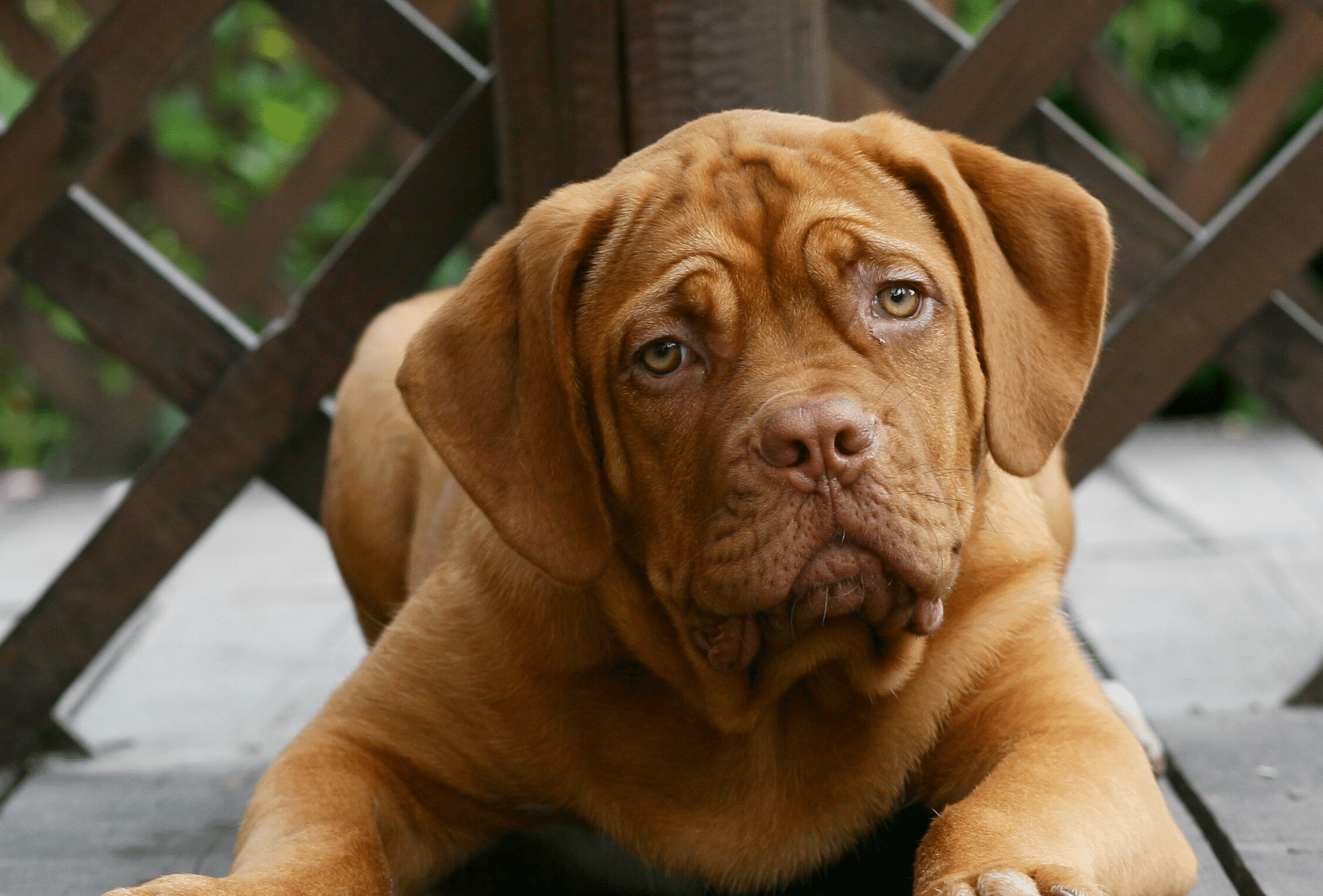 Mastiff puppy titling his head, possibly experiencing dog hiccups.