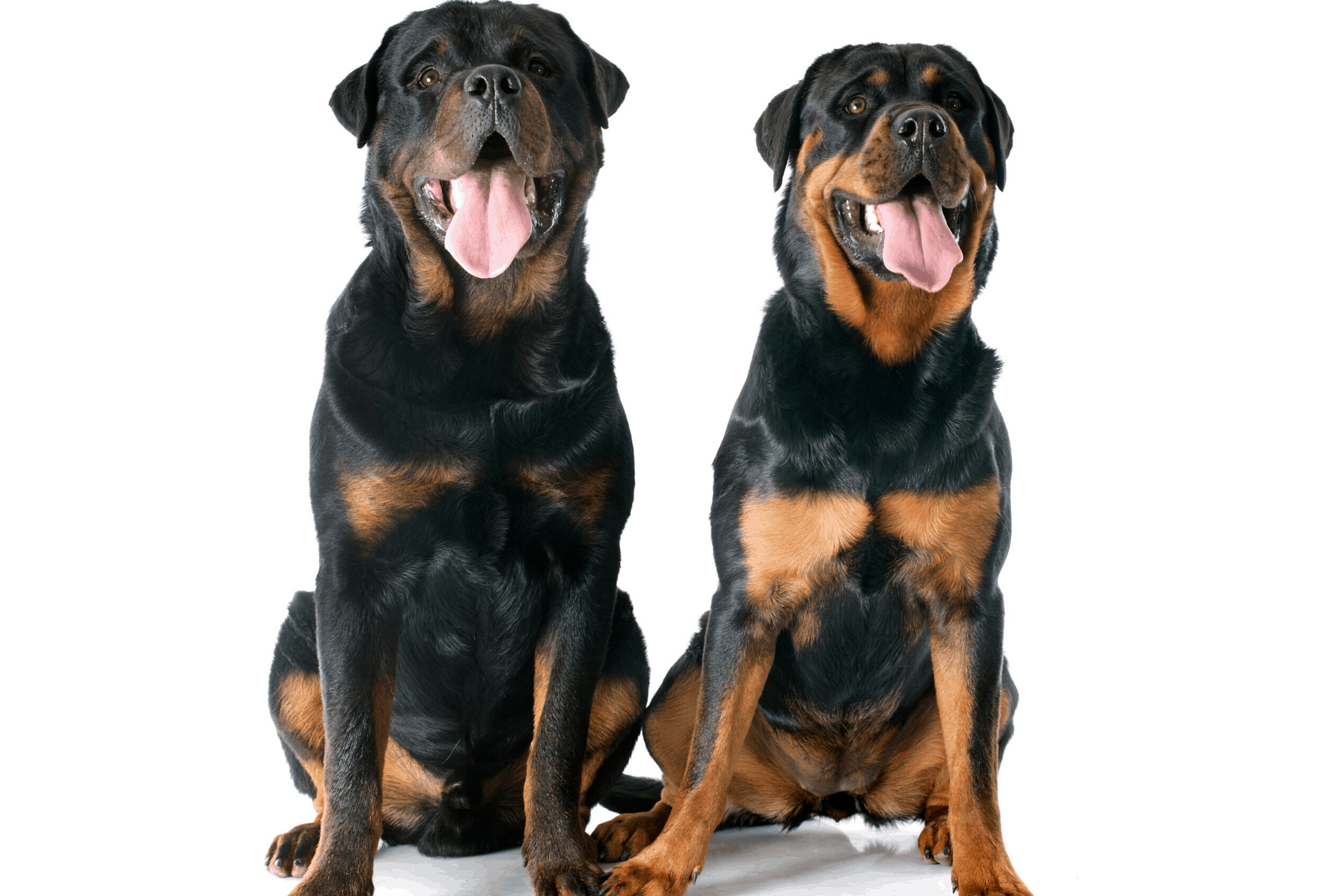 Comparison between Rottweiler colors. One Rottweiler is nearly all-black and the other dog has lots of light tan markings.