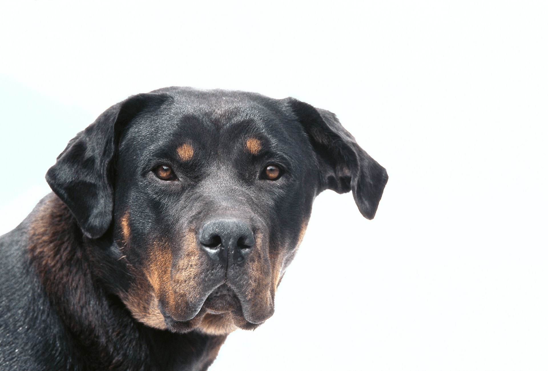 Rottweiler with false brown color markings extending to the neck.