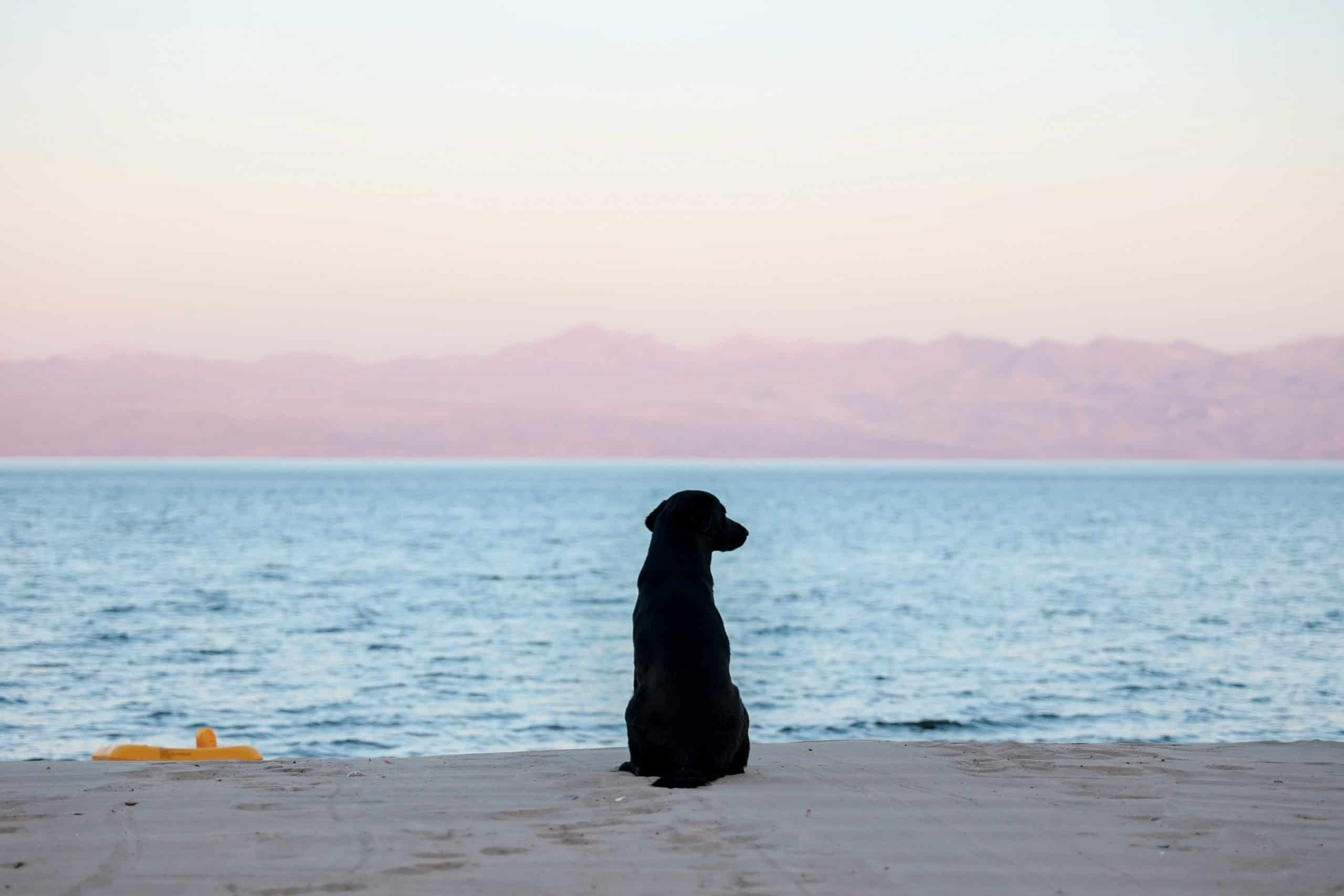 Dog watching the sunset over the ocean.