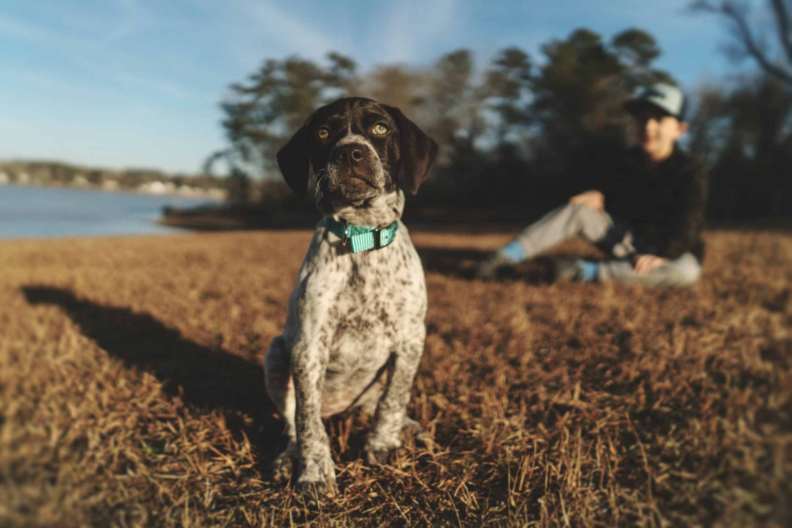 German Shorthaired Pointer puppy sitting in grass.