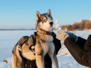 Man carries Husky in his arms.