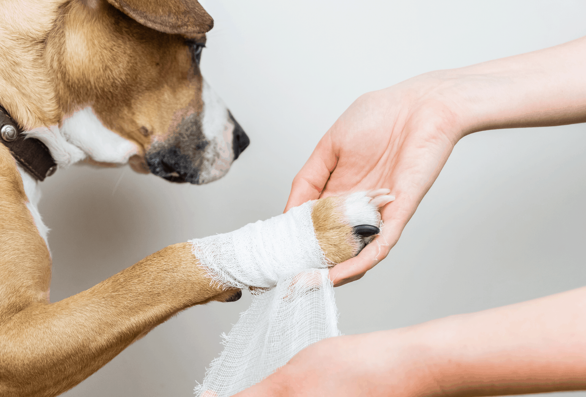 Protecting wounded paw with bandaid.