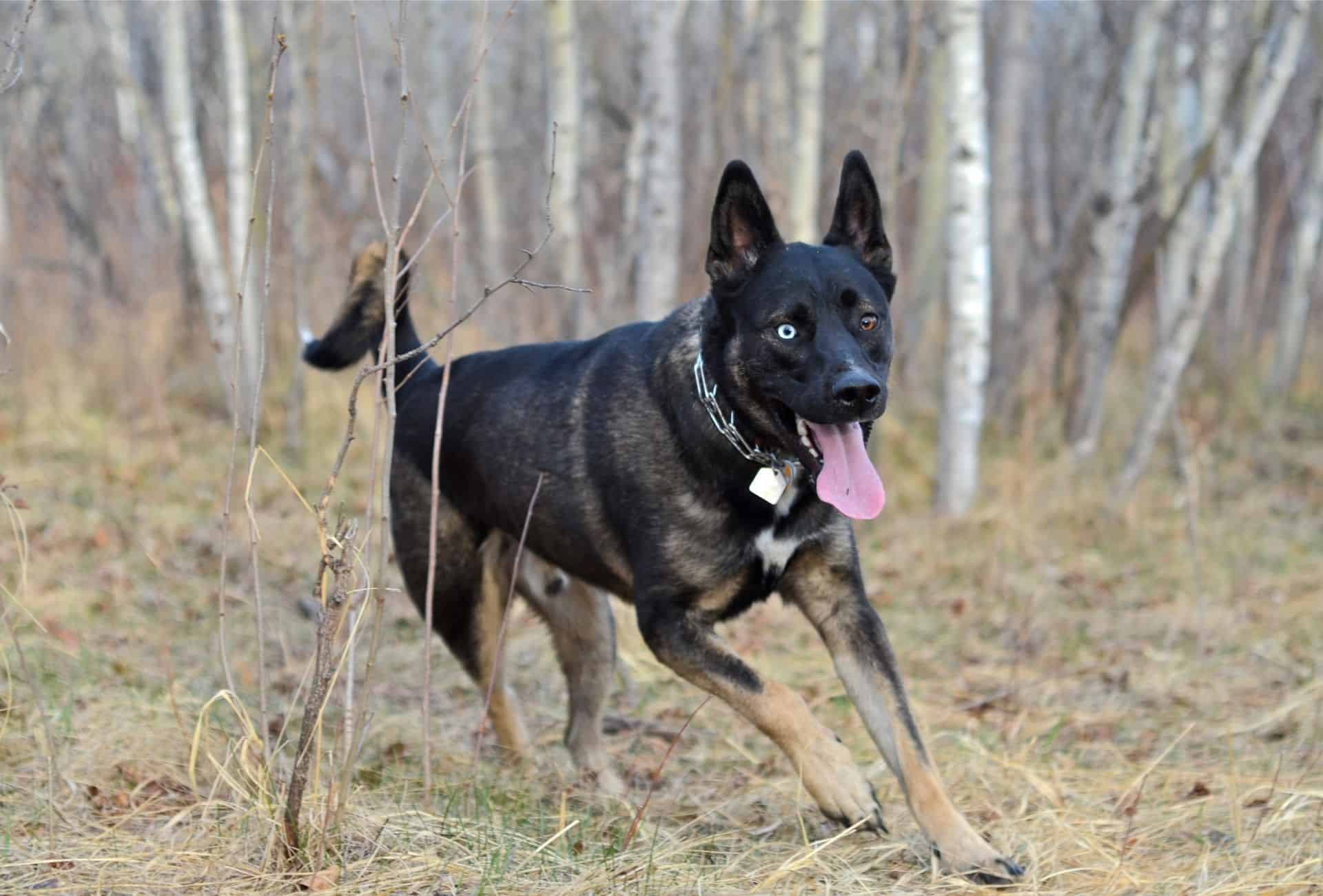 Husky German Shepherd mix with heterochromatic eyes runs around in the forest.