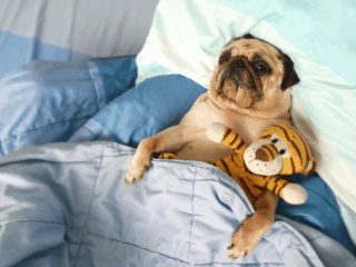 Pug snuggled under a blanket with a plush toy and the tongue sticking out.