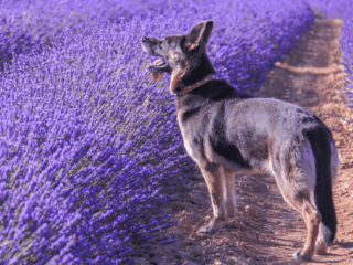 German Shepherd with a straight back stands in a lavender field