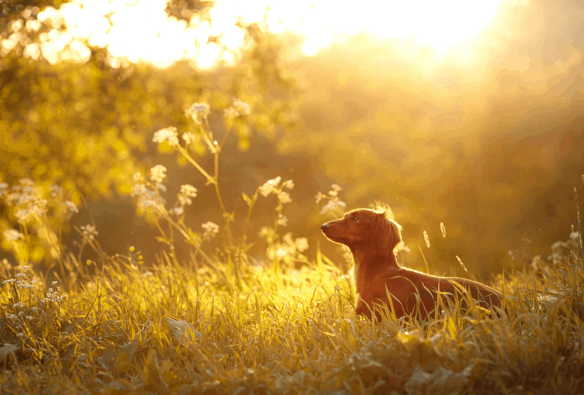 Dachshund in field during sunset