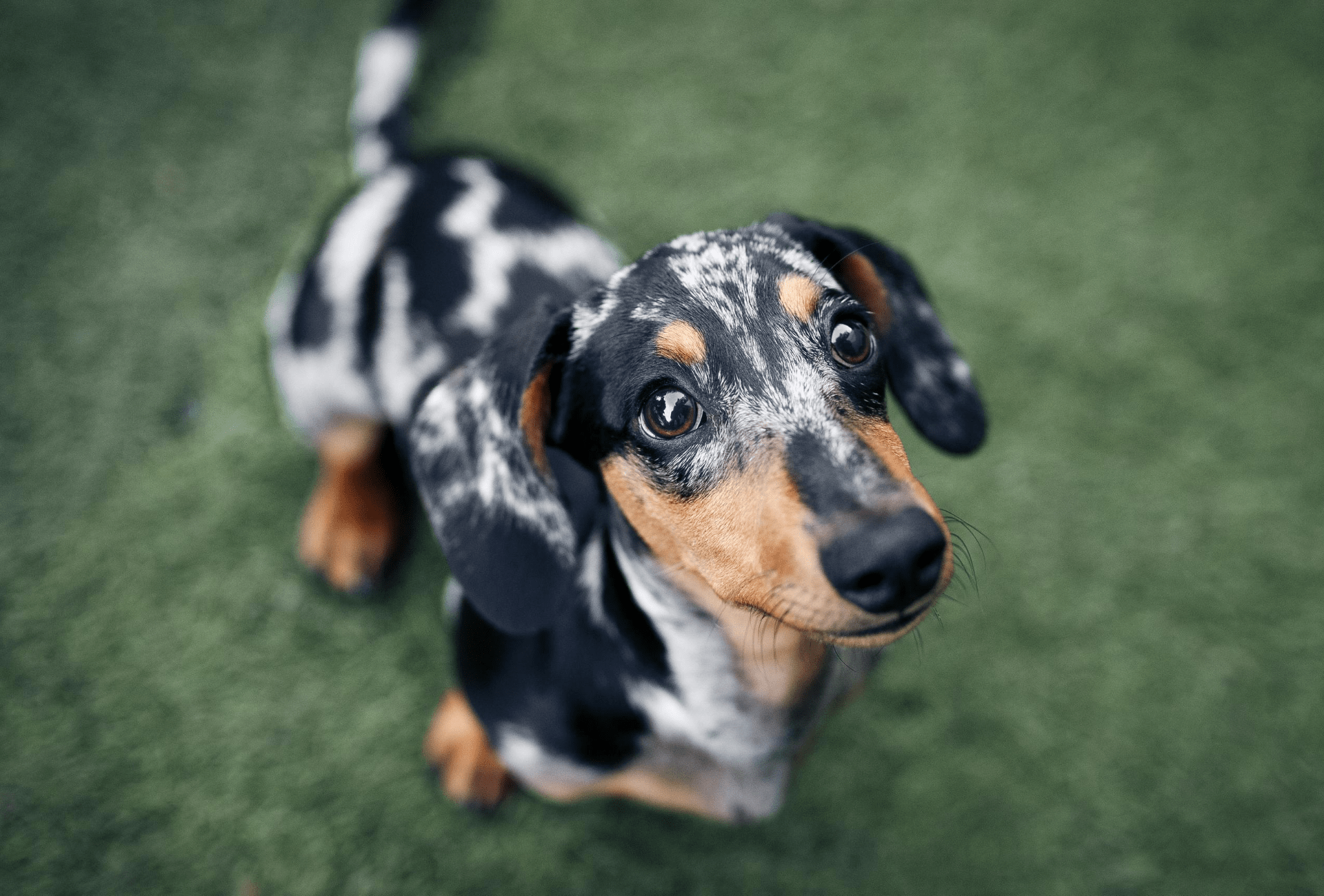 multicoloured dachshund