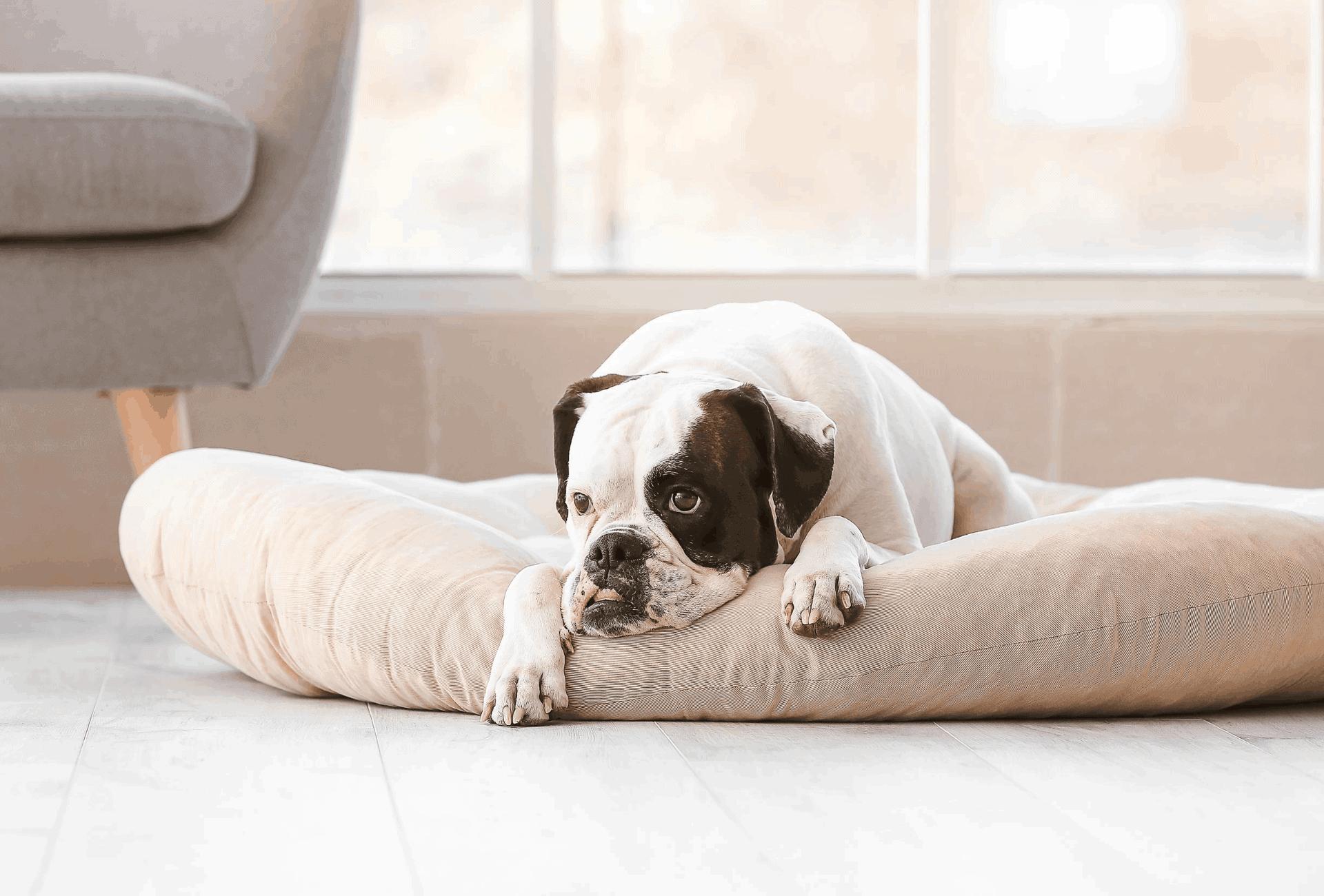 Bulldog laying in his bed at home