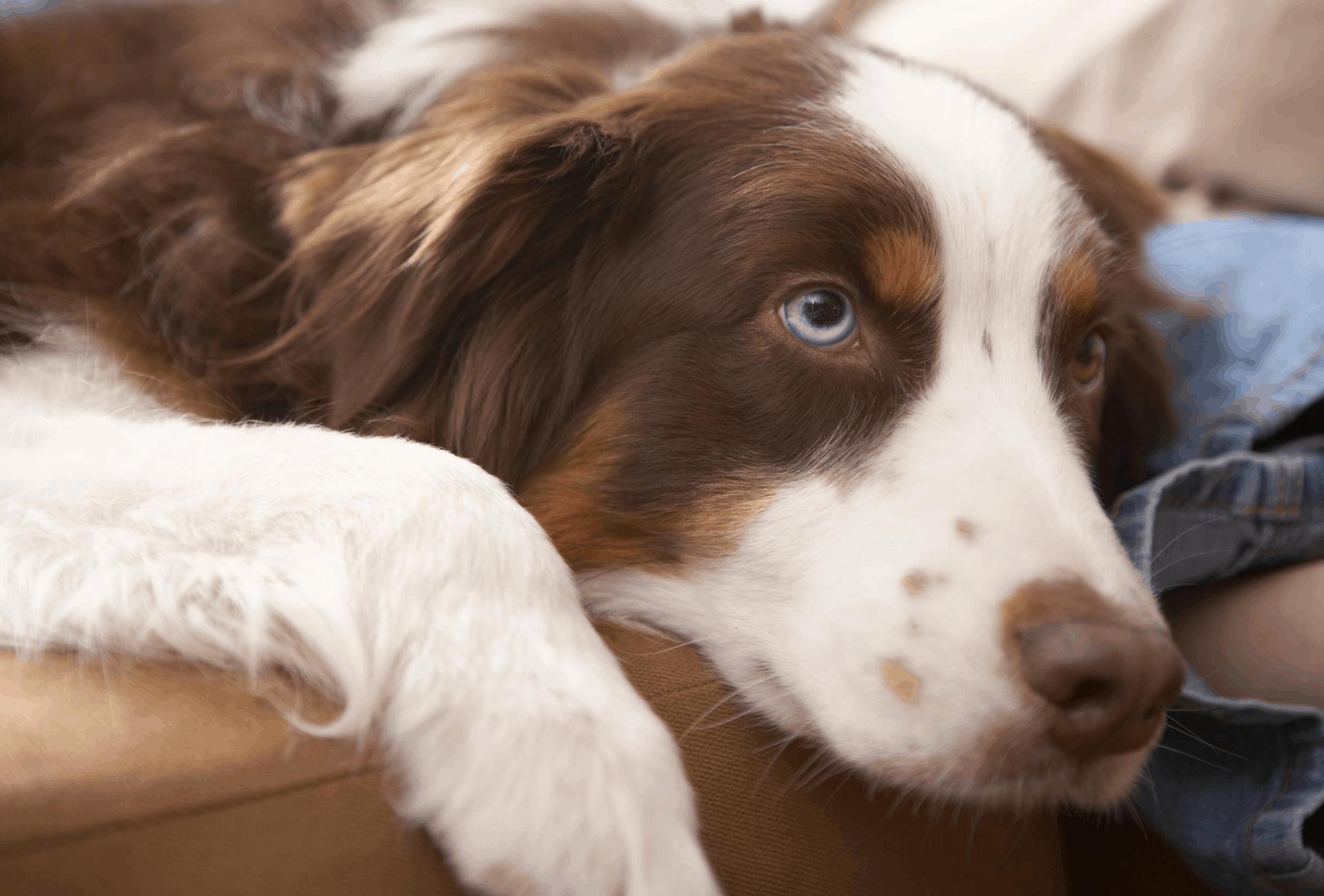 Dog laying at home.