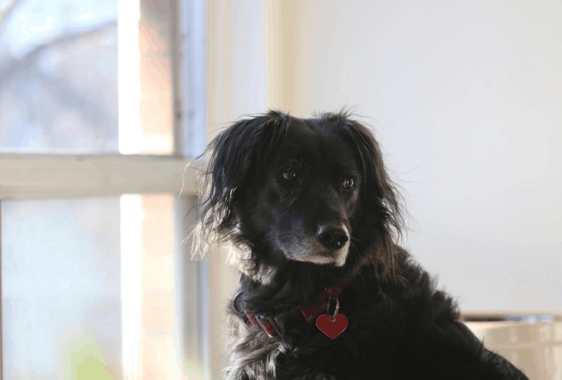 Black senior dog with white nose.