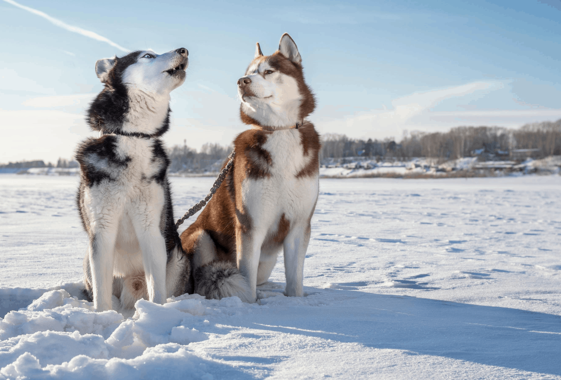 Husky learning to howl
