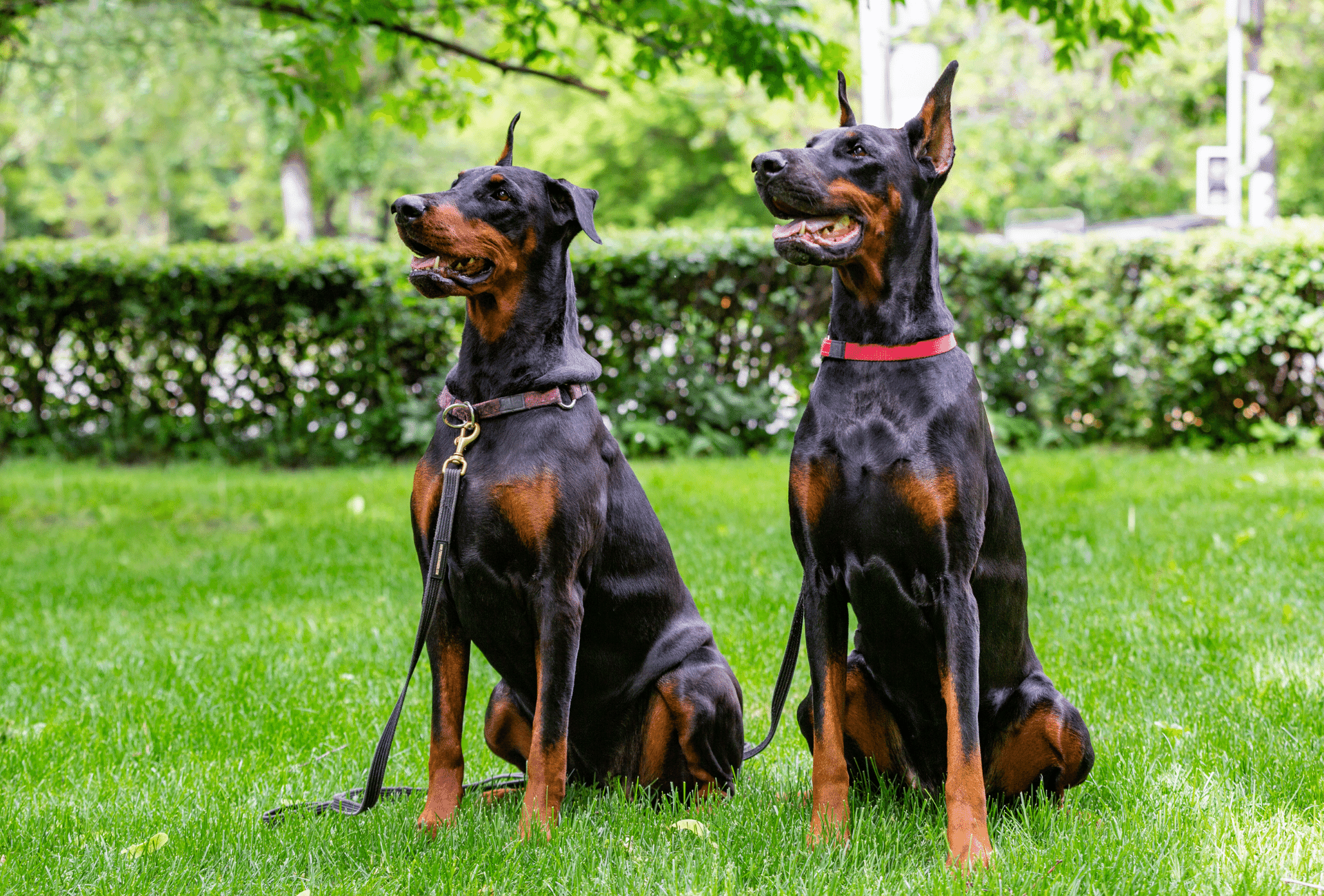 Two black Dobermans with rust and tan markings sitting next to each other