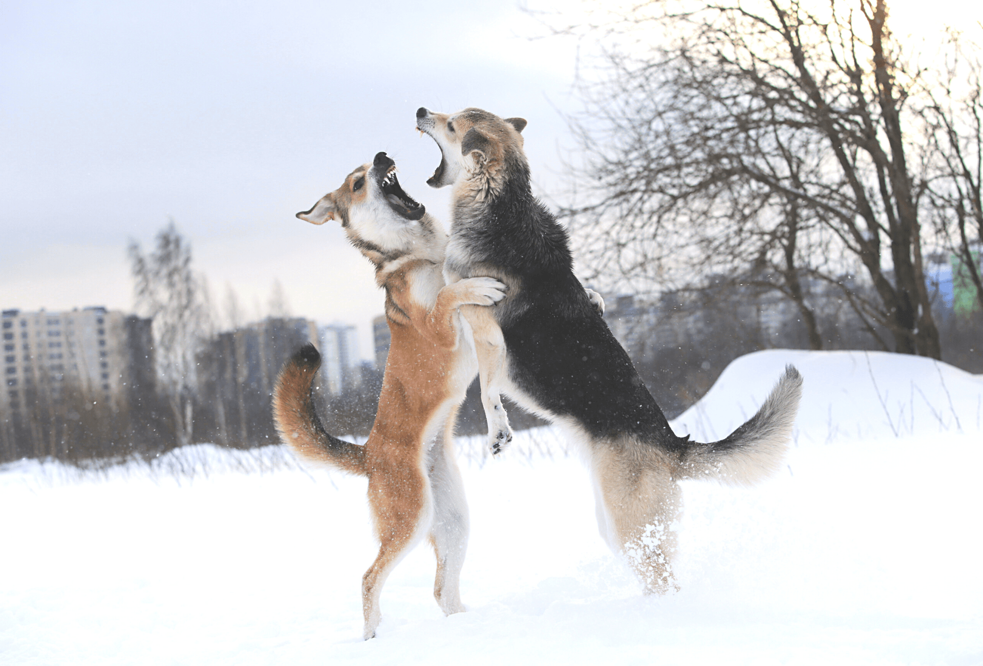 Two dogs clashing midair in the snow.