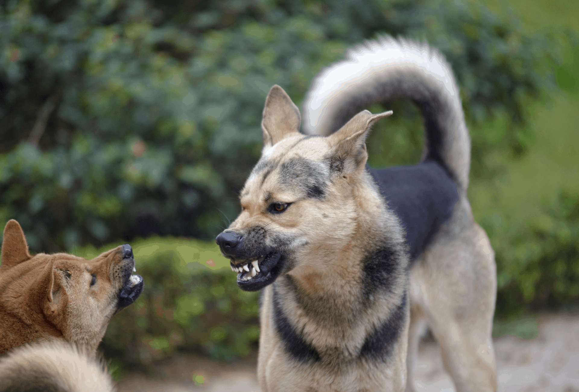 Two dogs snarling at each other, displaying their teeth as warning before the fight.