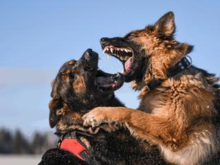 Two German Shepherds fighting