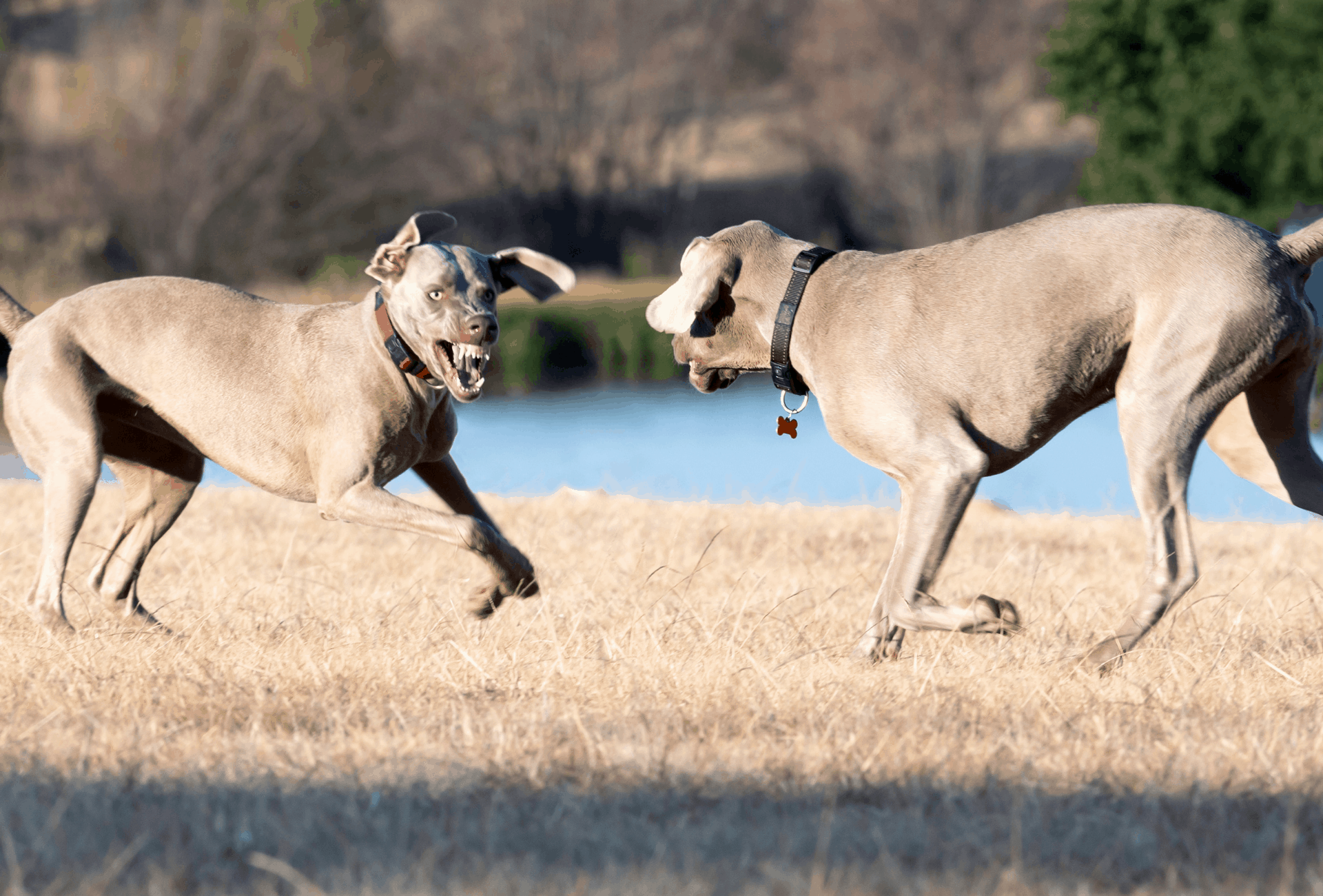 Two Weimaraners facing each other and showing teeth, about to launch into fight.