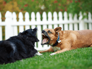 dogs fighting in the same household