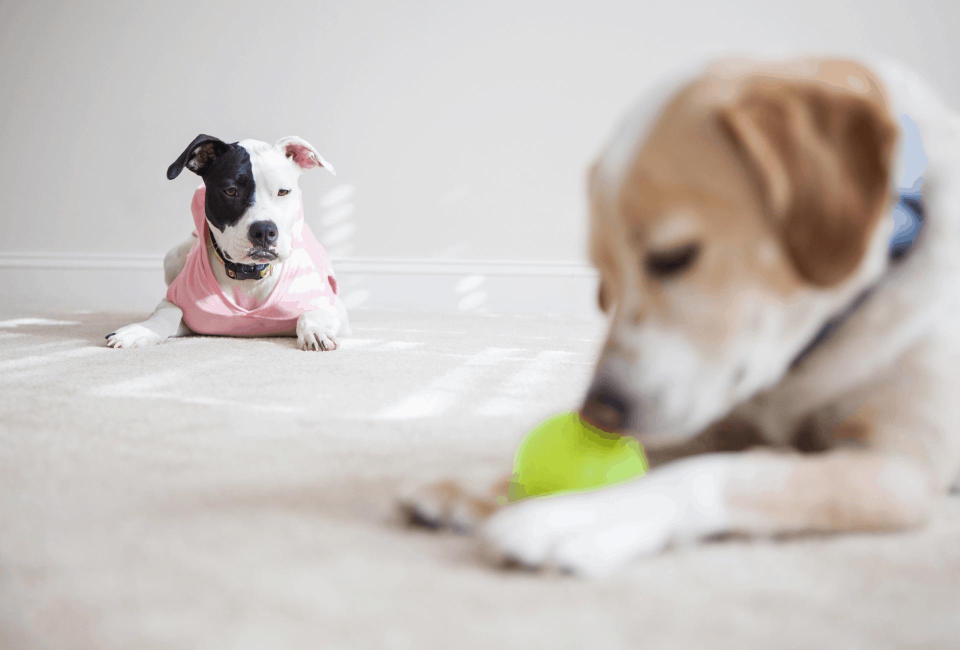 Pitbull jealous of other dog
