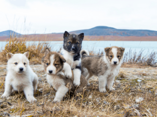 Four puppies play in front of a lake outside, potentially siblings.