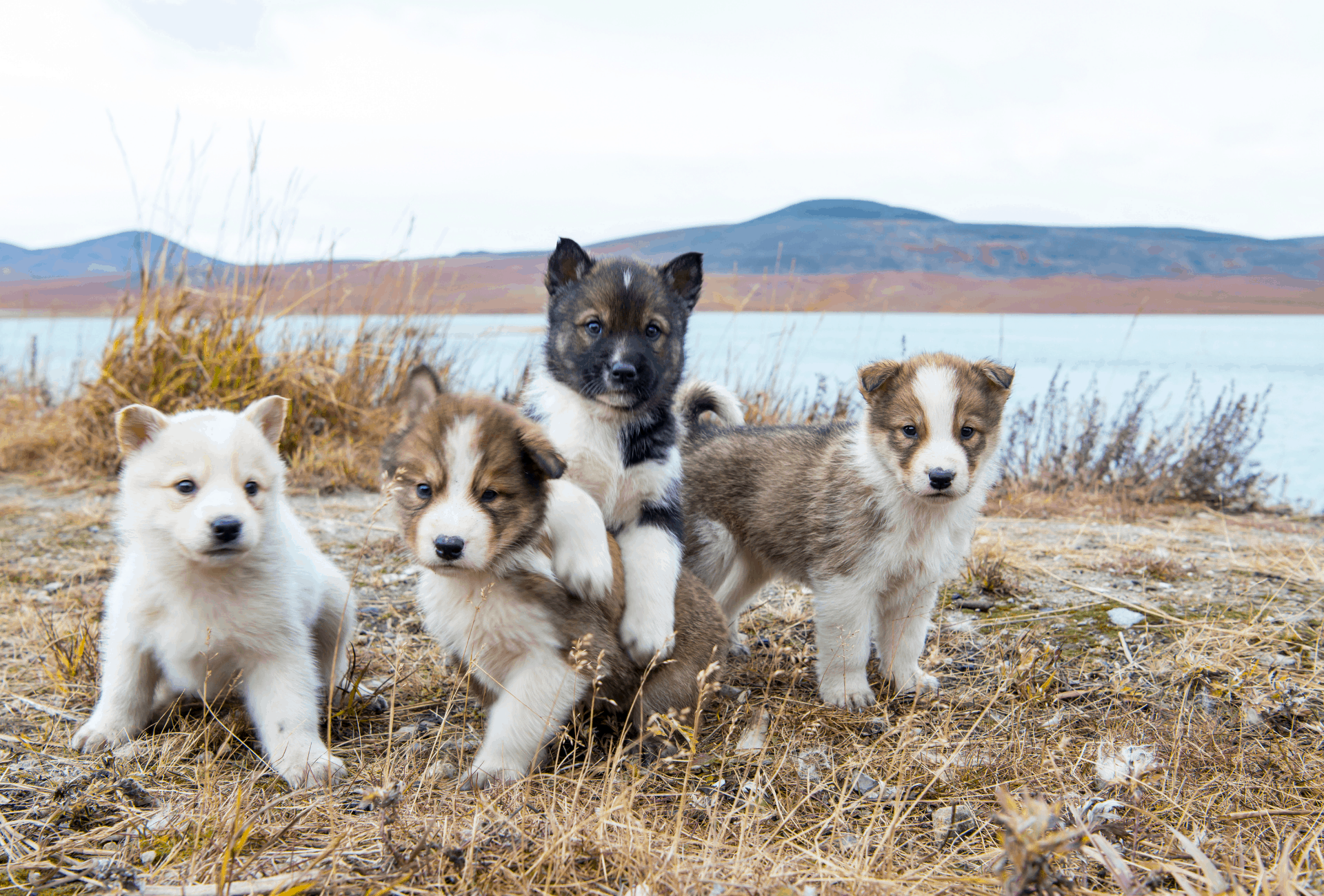 Four puppies play in front of a lake outside.