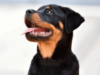 Rottweiler puppy growing