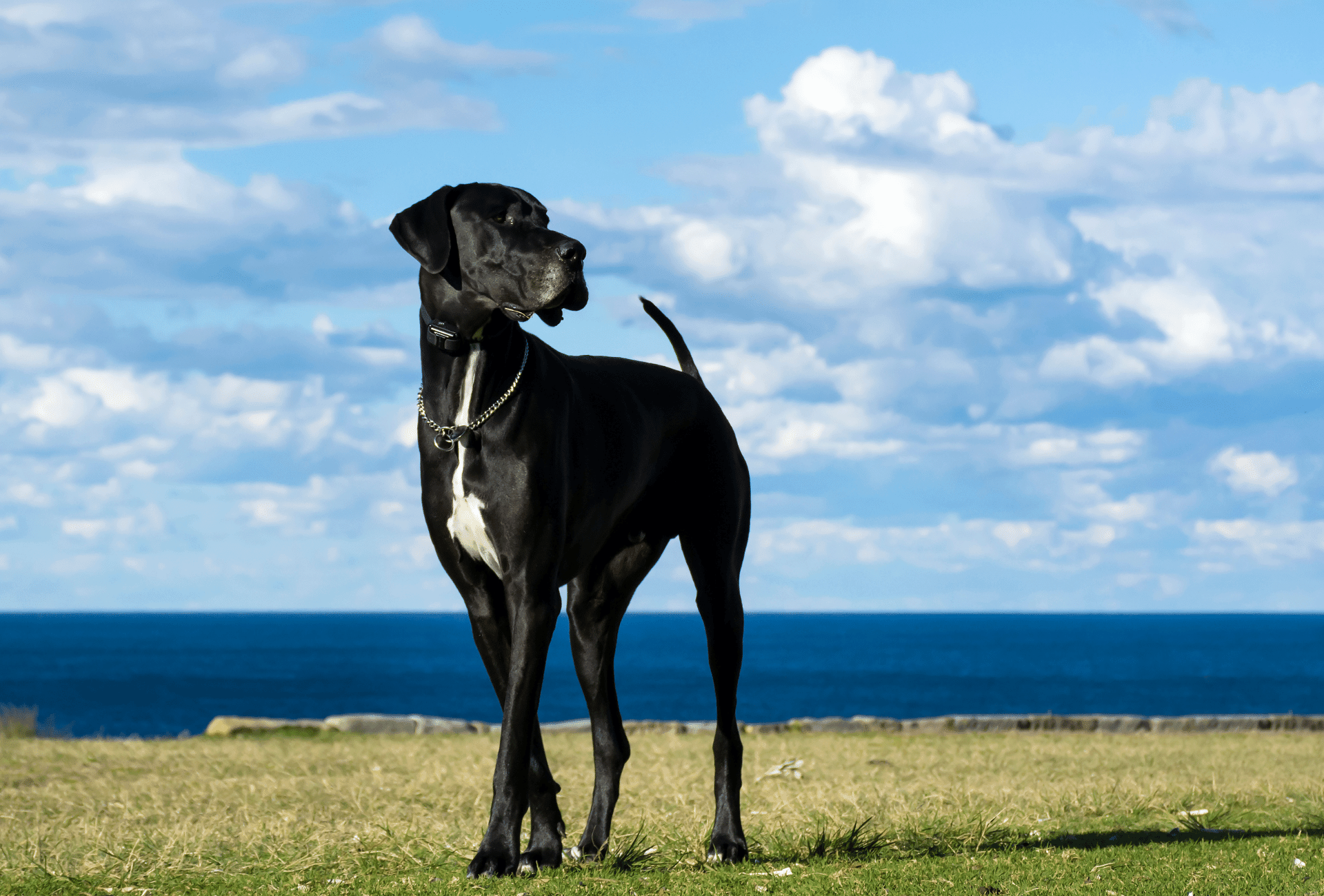 Tall black Great Dane standing under clear sky.