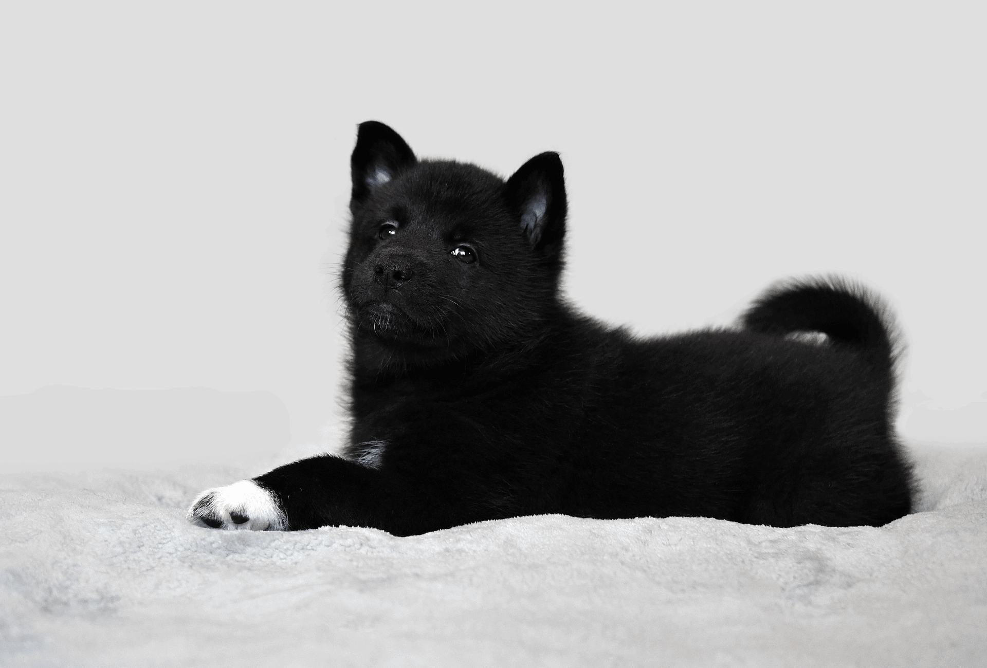 All black Husky puppy with white paws.