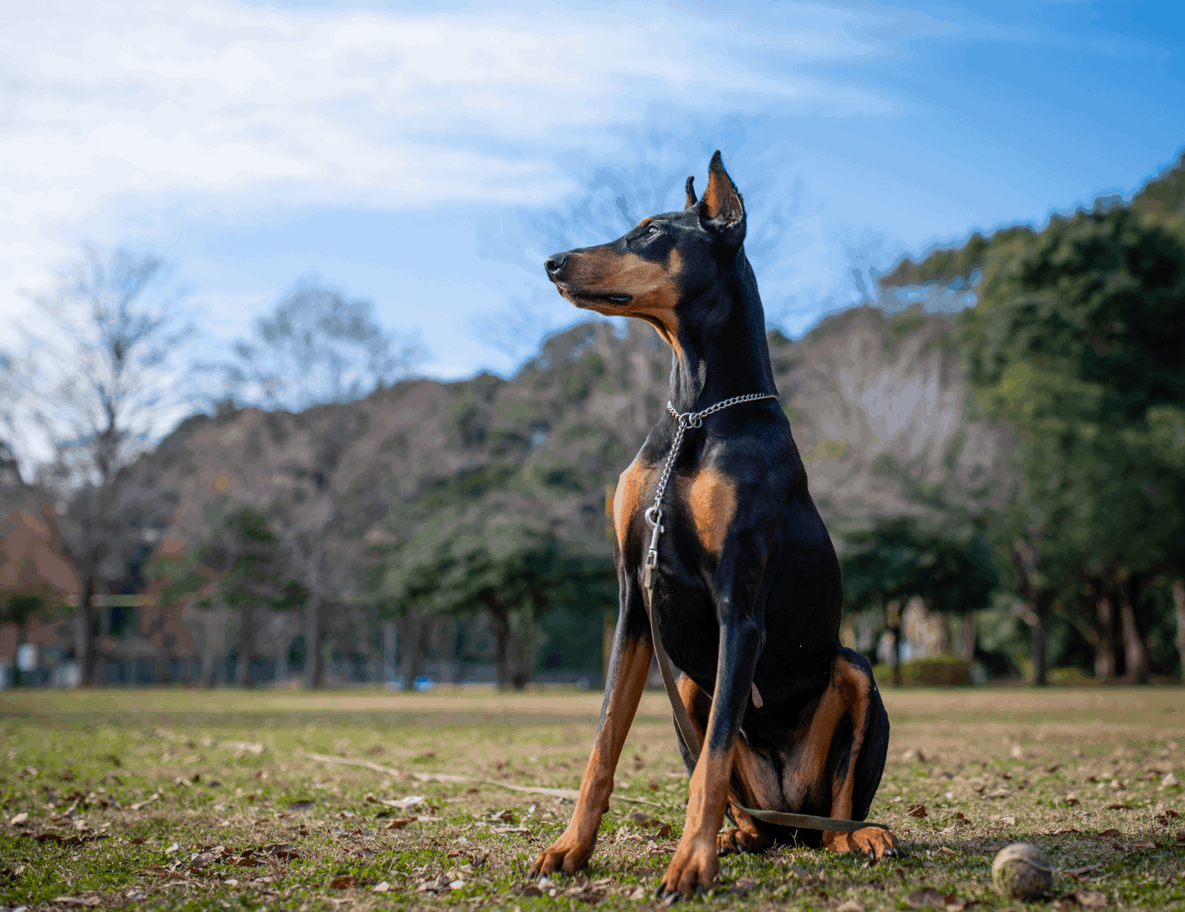 Black Doberman with tan markings instead of the classic rust red Doberman markings.