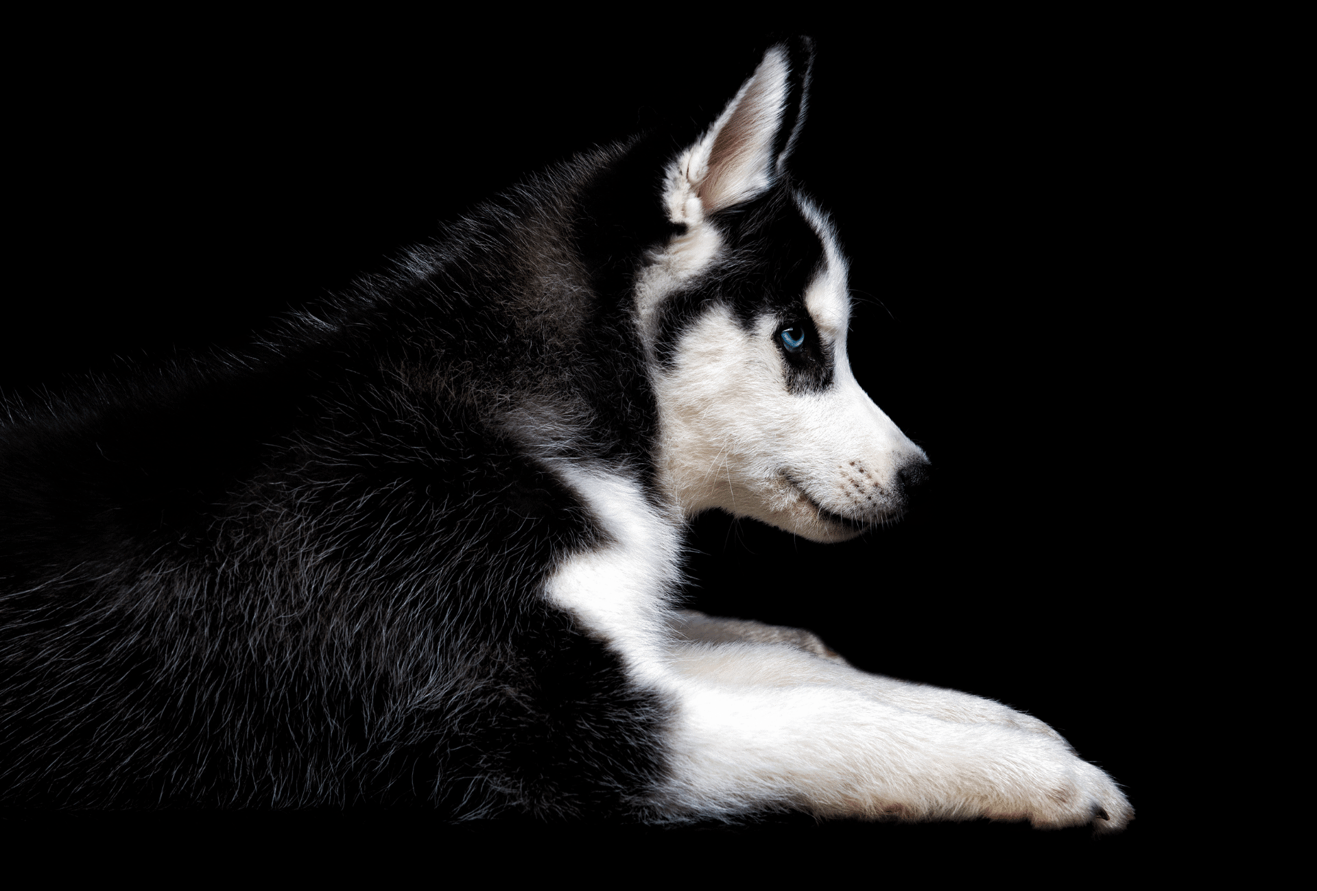 Black and white Husky with blue eyes.