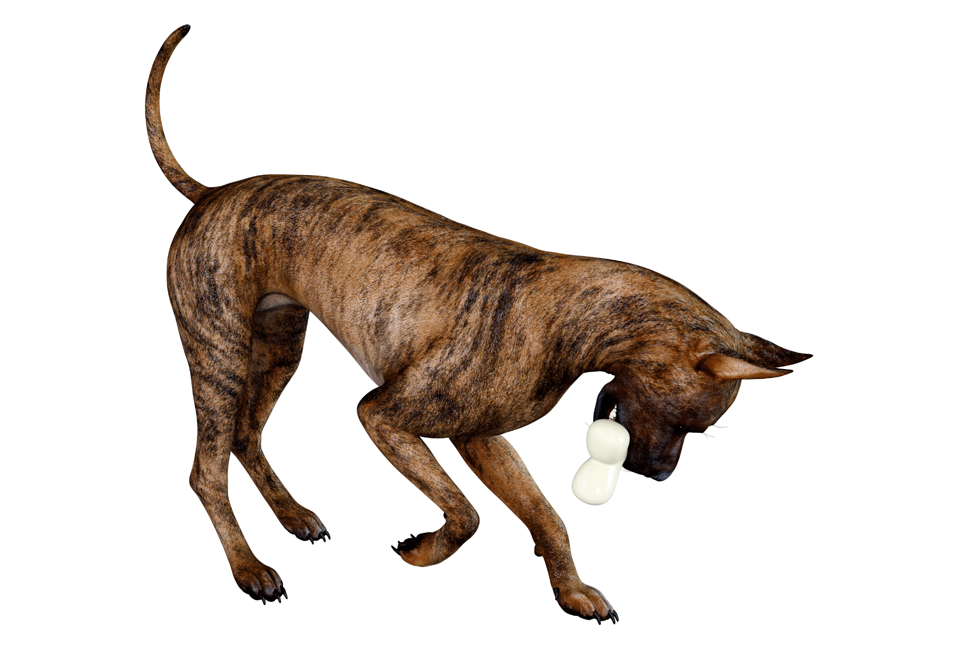 Brindle Great Dane with toy in mouth in front of white background.