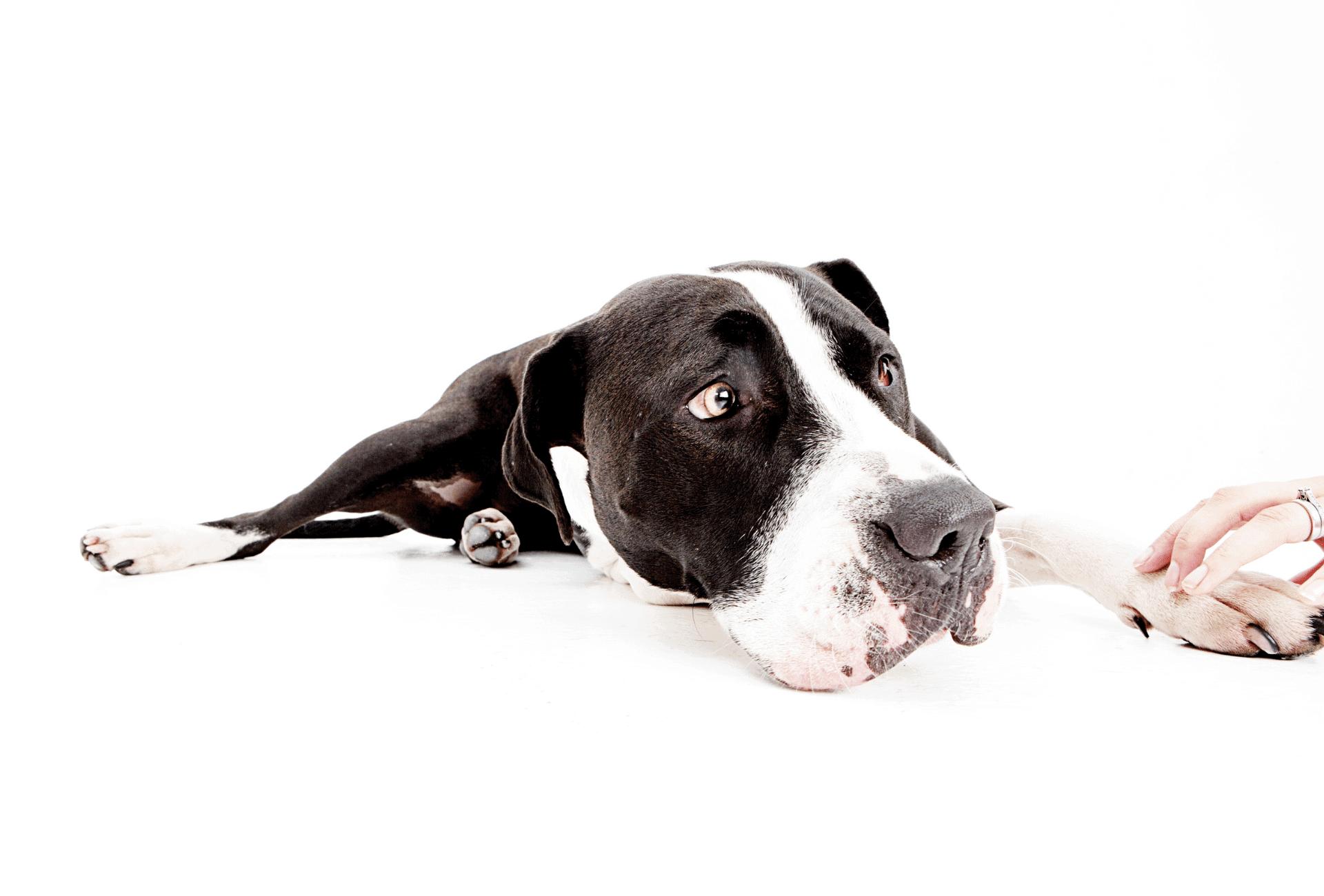 A dog looks like he sense discomfort while a human holds the dog's paw.