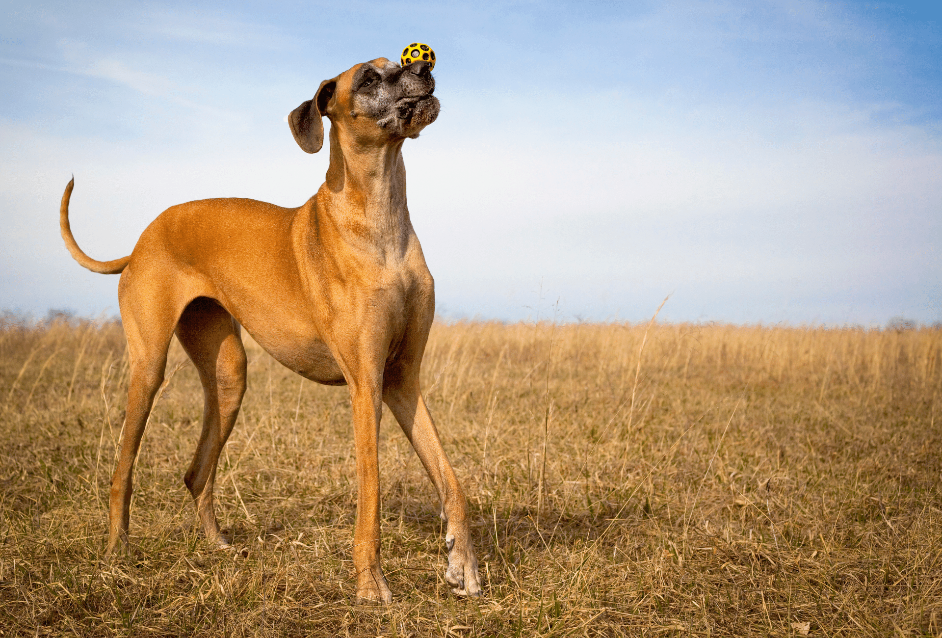 Senior fawn colored Great Dane playing with a ball.