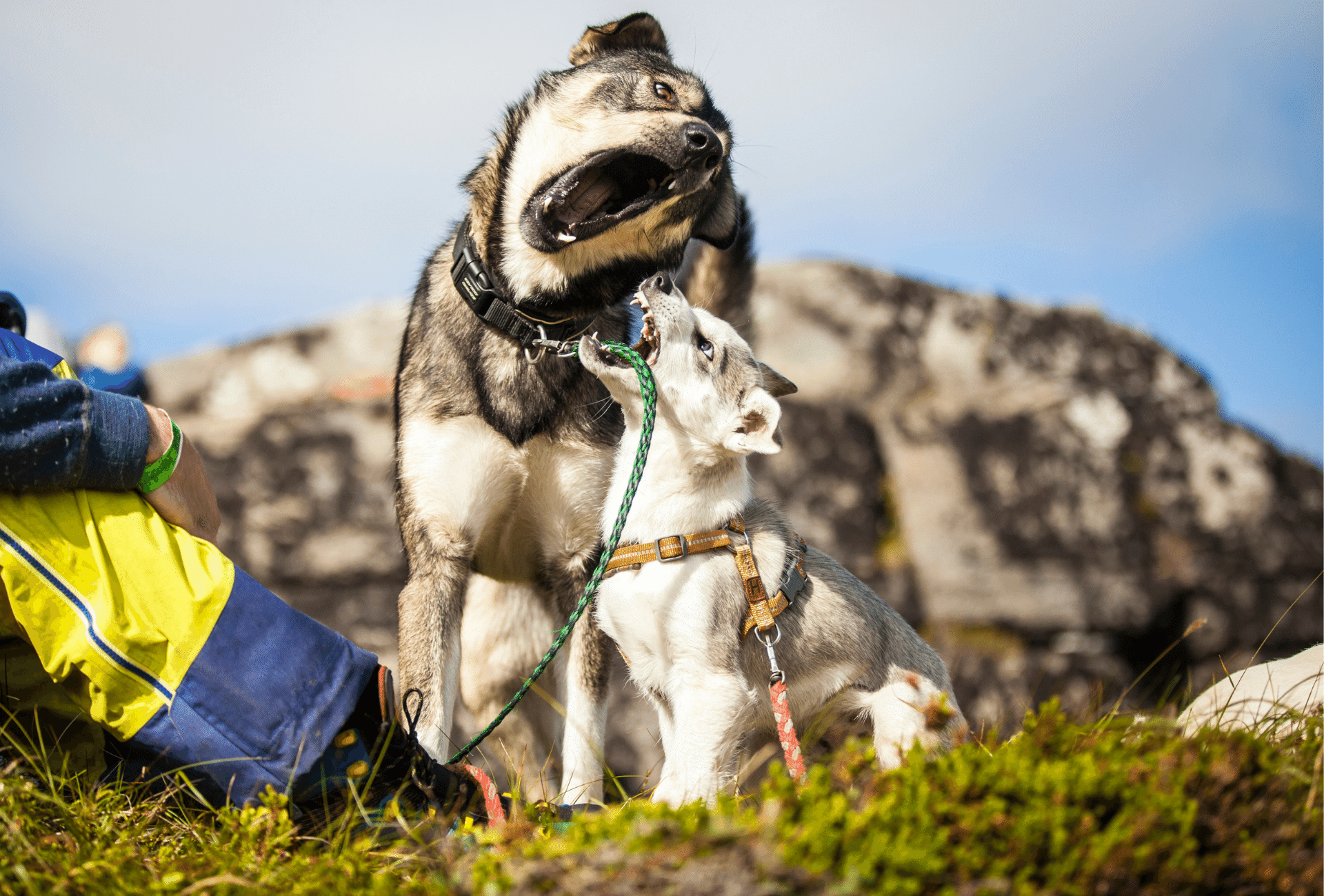 Adult Husky plays with younger dog on a hike.