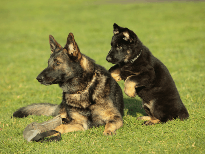 German Shepherd puppy focused on the older dog from behind.