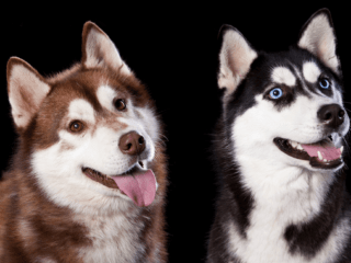 A red Husky sits next to a black and white Husky in front of a black background.