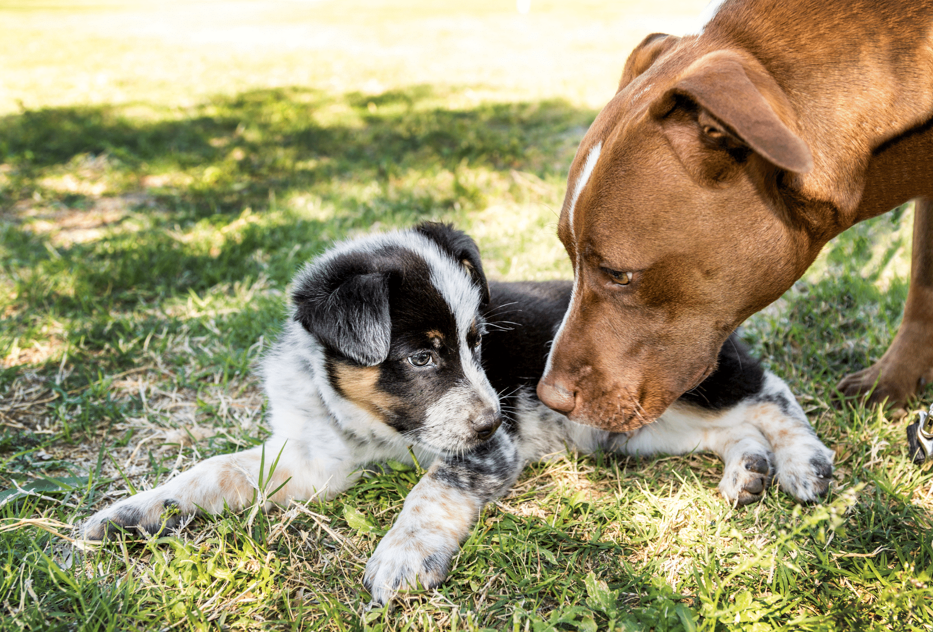 Older dog is bending down to a puppy laying on grass.