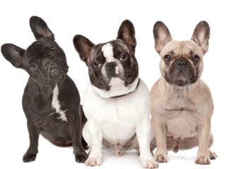 Three French Bulldogs ranging from black to fawn sitting next to each other in front of white background.