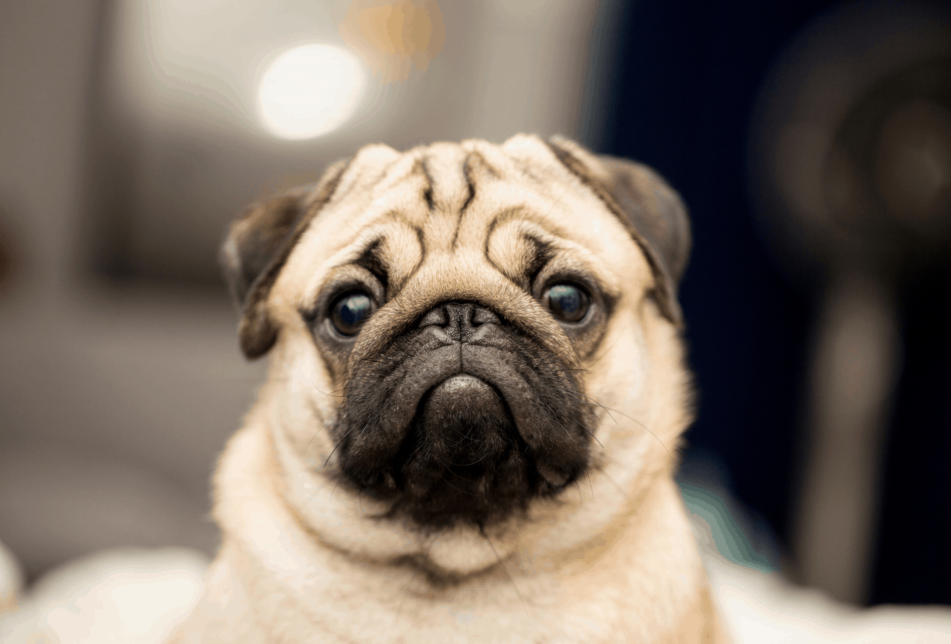pug looking into camera