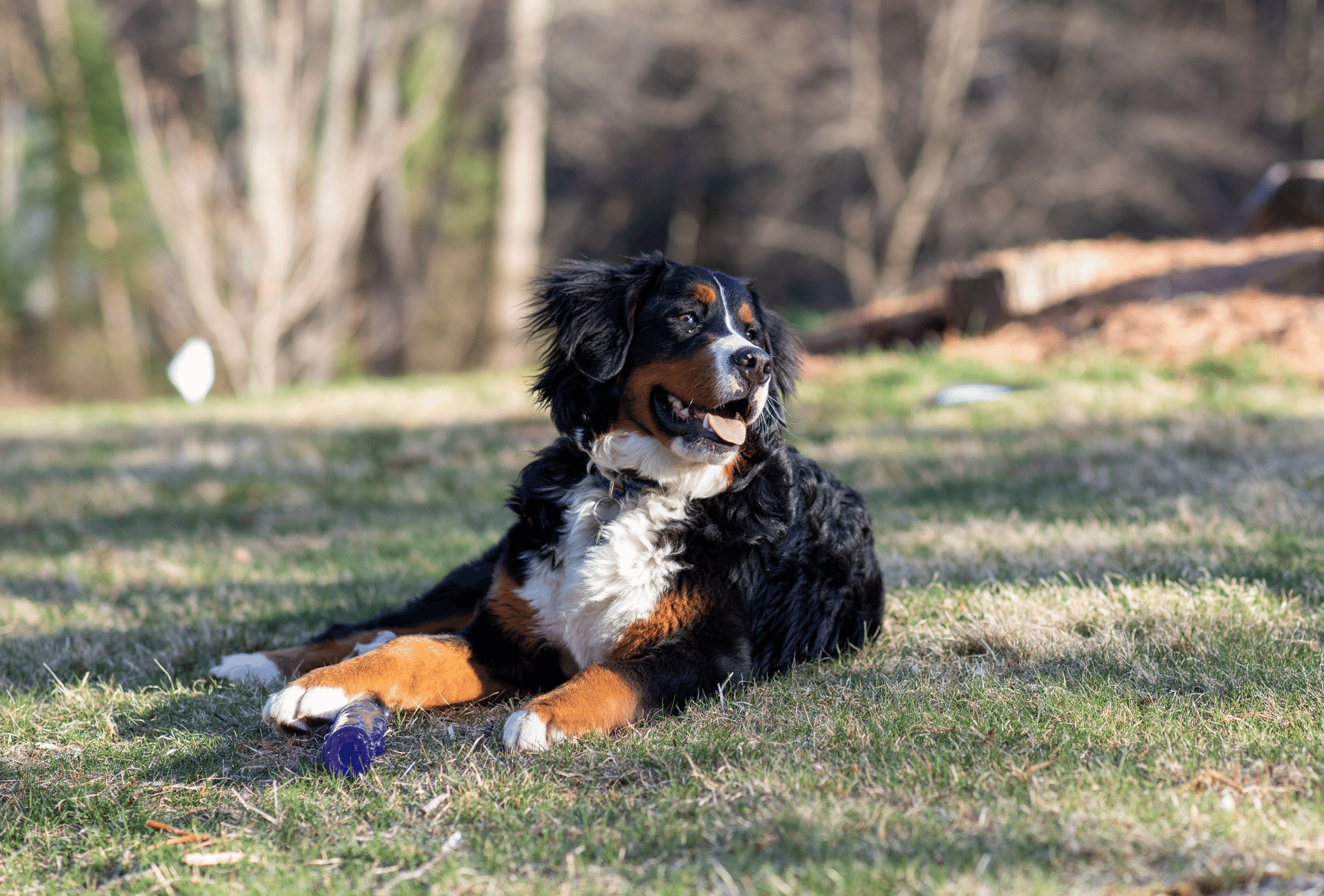 Bernese Mountain Dog Poodle cross with toy between his paws.