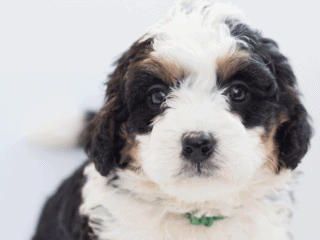 Bernedoodle puppy with fluffy white and black fur and brown patches around the eyes.