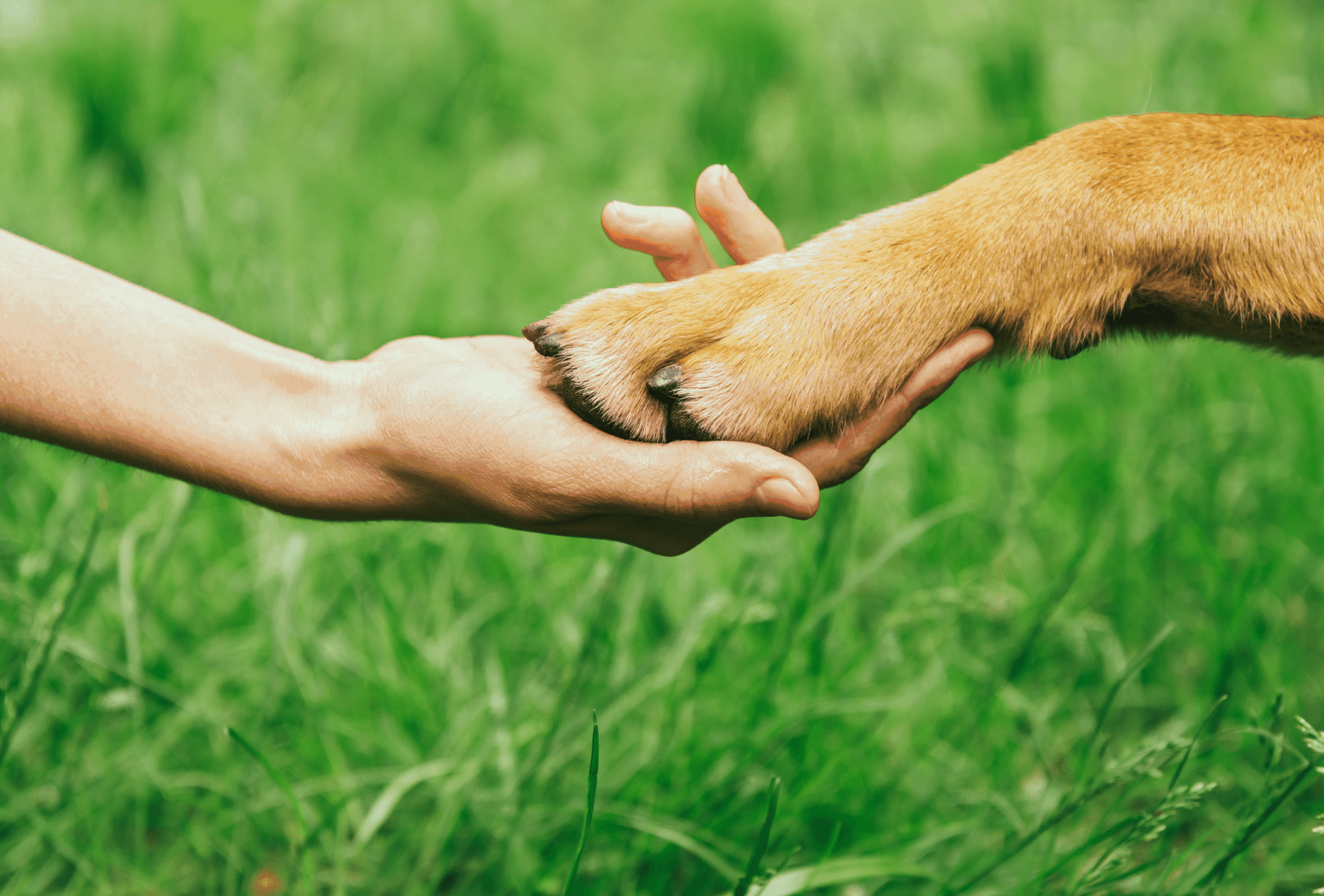 Dog paw reaching for human hand in front of green background.